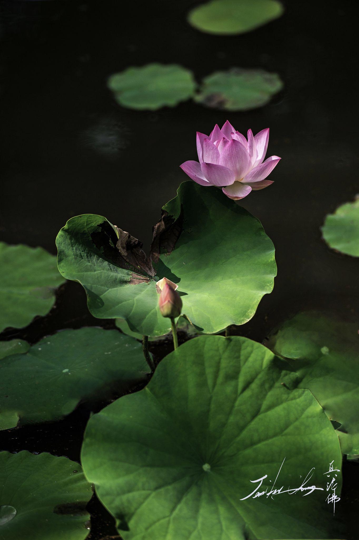 Lotus Lotus Lotus Flowers And Water Lilies