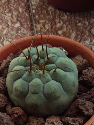 APRENDIENDO ENTRE ESPINAS: Matucana madisoniorum