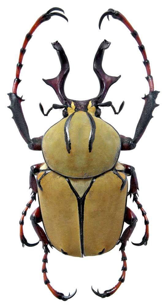 Dicronocephalus wallichi Hope | Bichos | Pinterest | Insectos ...