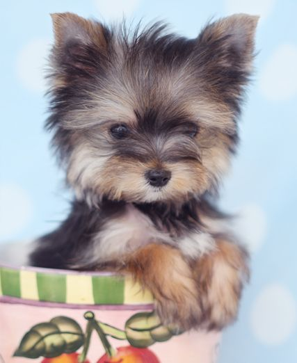 Yorkie Puppy For Sale At Teacups Puppies South Florida Yorkie Puppy Yorkie Puppy For Sale Yorkie