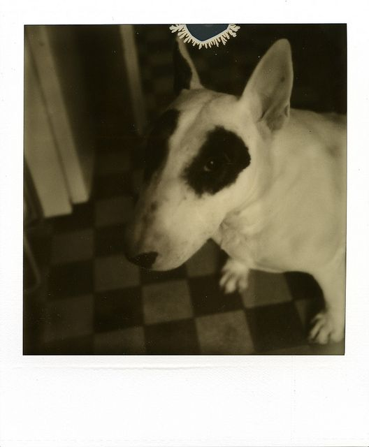 pouki bull-terrier by ●●●sdzn, via Flickr