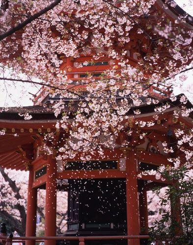 Sakura blossoms, #japan