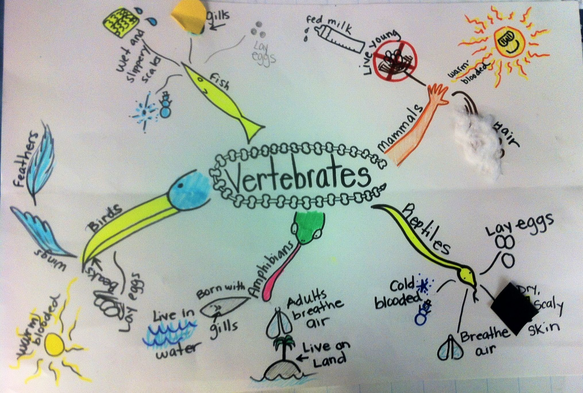 Mind Mapping The 5 Classes Of Vertebrates