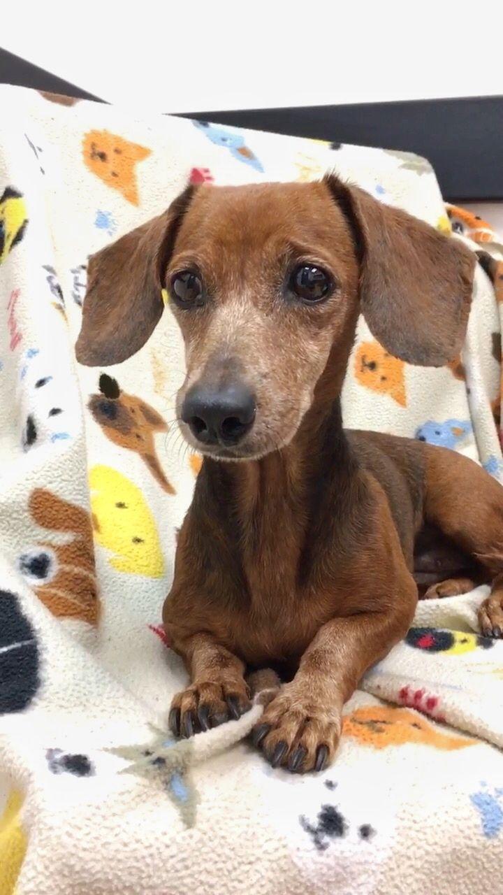 Dachshund dog for Adoption in Weston, FL. ADN709572 on
