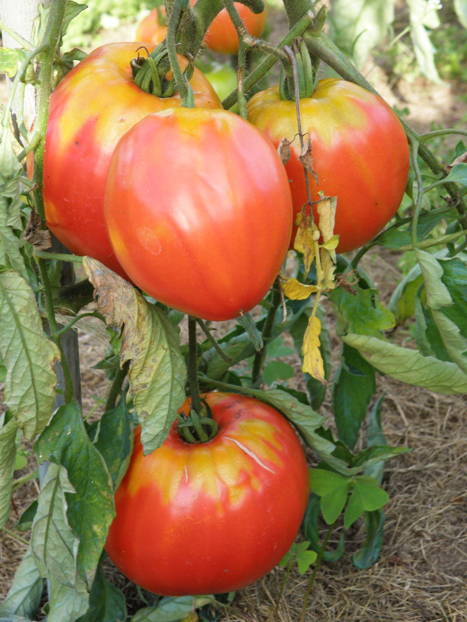 Tomate Cœur De Bœuf Mes Tomates Pinterest Growing Tomatoes
