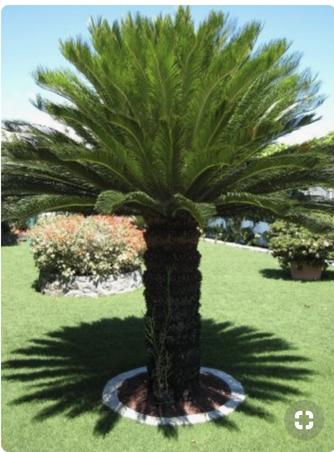 Pin Von Vigue Auf Jardins Palmen Garten Garten Pflanzen Palmen Pflanzen