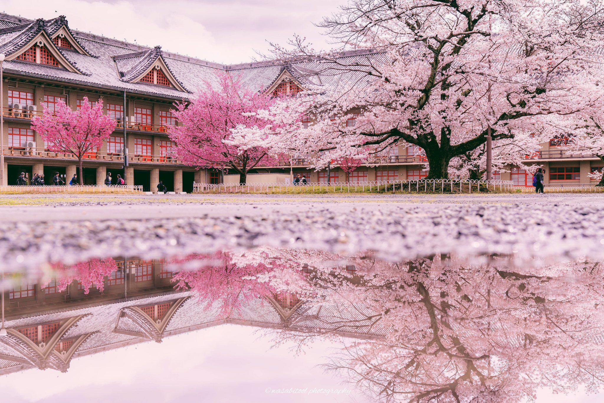 Wasabitool On Twitter Cherry Blossom Blossom House Blossom