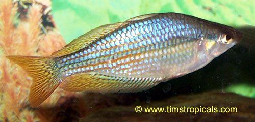 Australian Rainbowfish Melanotaenia Fluviatilis Australian Rainbow Fish Tropical Fish Aquarium Fish