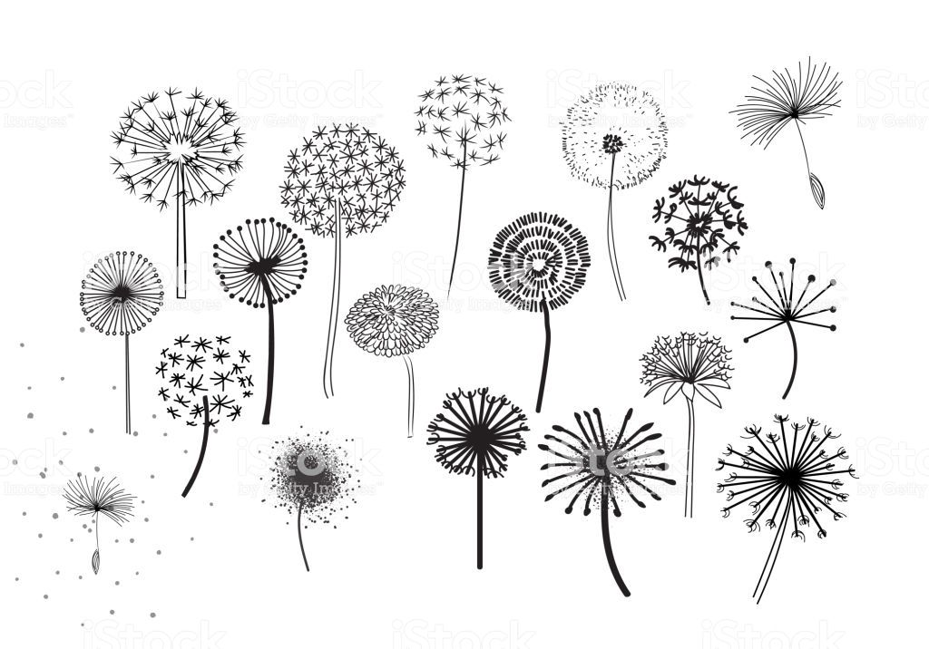 Dandelion Fluffy Seeds Flowers Royalty Free Dandelion Fluffy Seeds Flowers Stock Botanical Illustration Black And White Dandelion Flower Free Vector Graphics