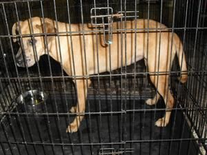 334-13 is an adoptable Labrador Retriever Dog in Blue Ridge, GA. Hello, Fannin County Animal Control is FULL, if you want to adopt a great dog, come see them, if you are a licensed Rescue Group Come a...