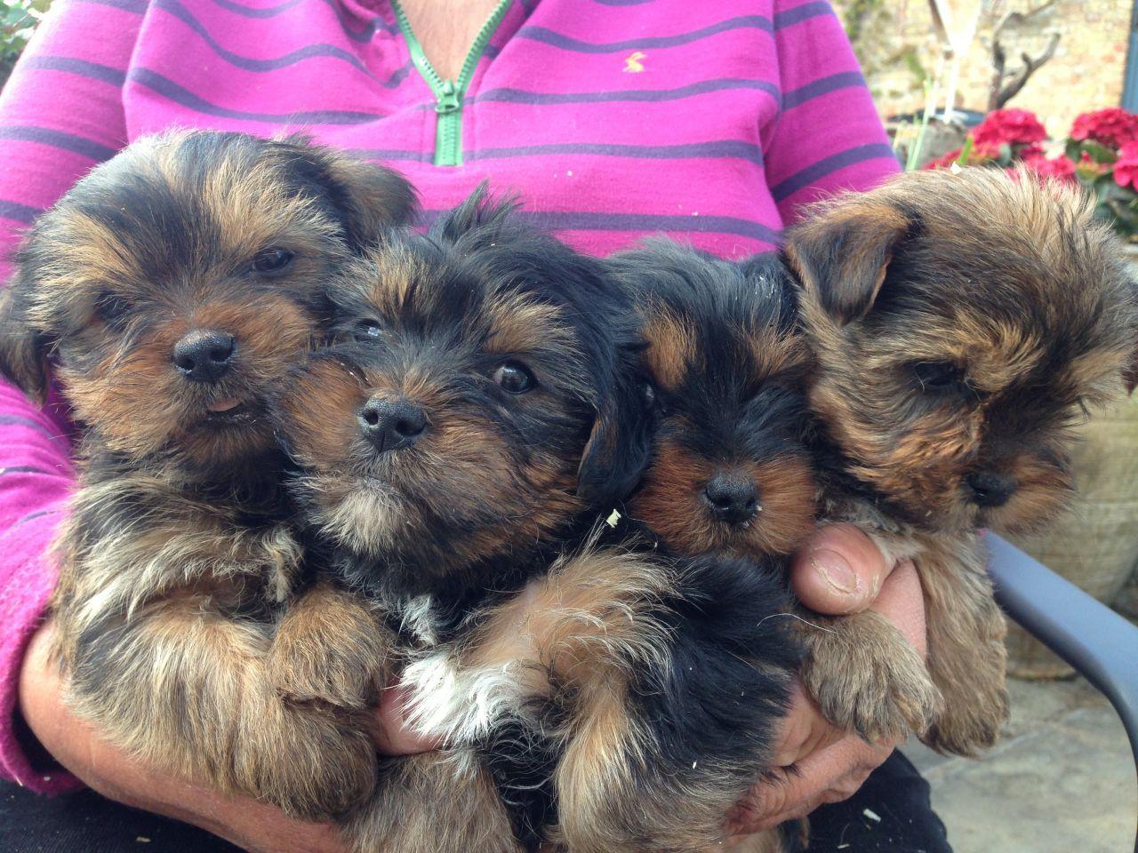 Shih Tzu Yorkshire Terrier Beloved Dog Dog Adoption Dogs