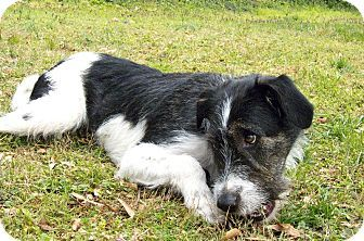 Pictures Of Baker A Irish Wolfhound Border Collie Mix For Adoption