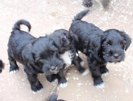 Dog01279 1 Jpg 450 343 Schnauzer Puppy Miniature Schnauzer