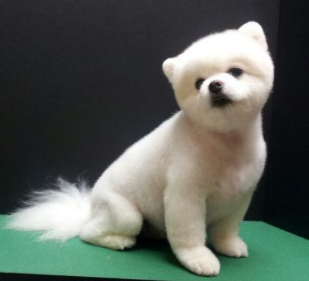 names of haircuts s diary pomeranian poms 2810