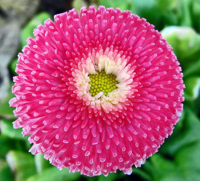 English Daisy Amazing Flowers Beautiful Flowers Pretty Flowers