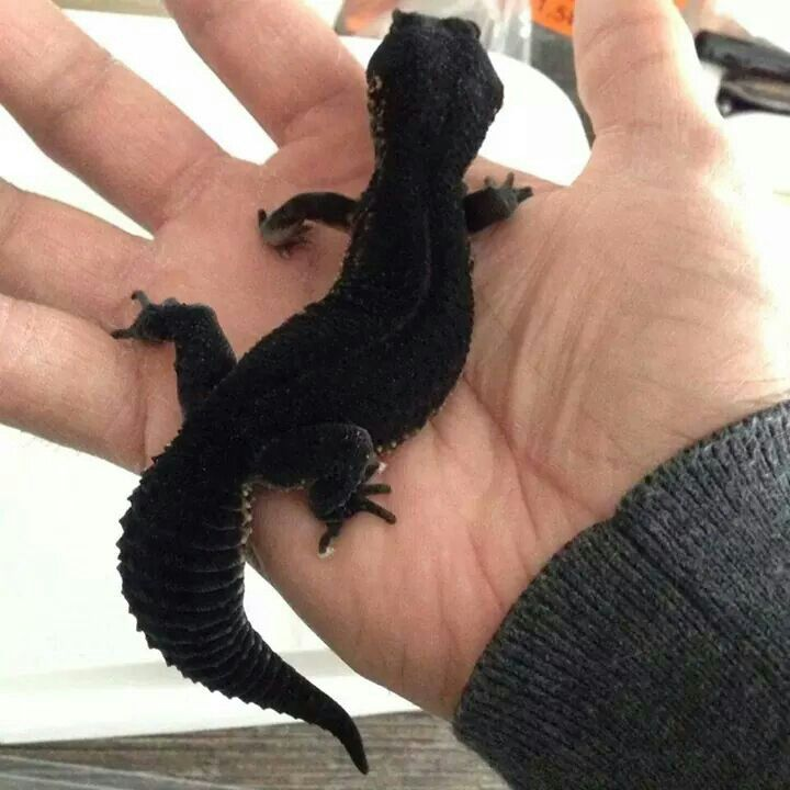Whoah, a black gecko? :) | Reptiles & Amphibians | Leopard ... - photo#3