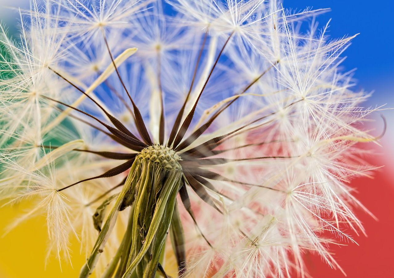 Free Image On Pixabay Dandelion Wild Flower Plant Hd Flower Wallpaper Gardening Trends Flower Wallpaper