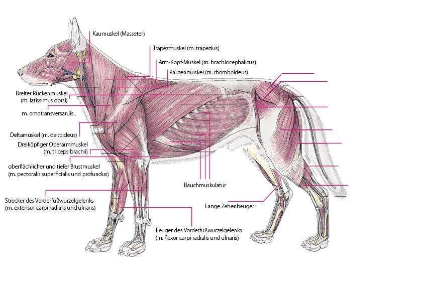 Blog_Muskeln Hund komplett   CANINE ANATOMY   Pinterest   Muskel ...