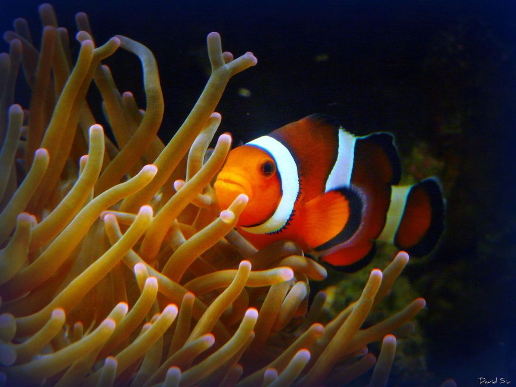 Picasso Clownfish Care Breeding Feeding Cost Guide Clown Fish Marine Fish Tanks Saltwater Aquarium Fish