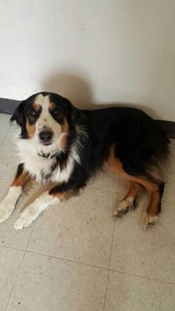 Founddog 6 8 15 Johnsoncity Pa Australianshepherd Nm 3 5 Yrs