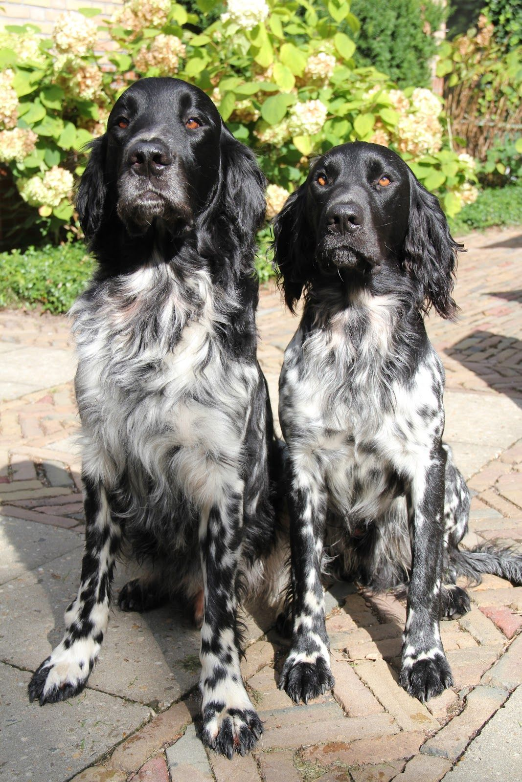Best Large Dog Breeds German Shepherd