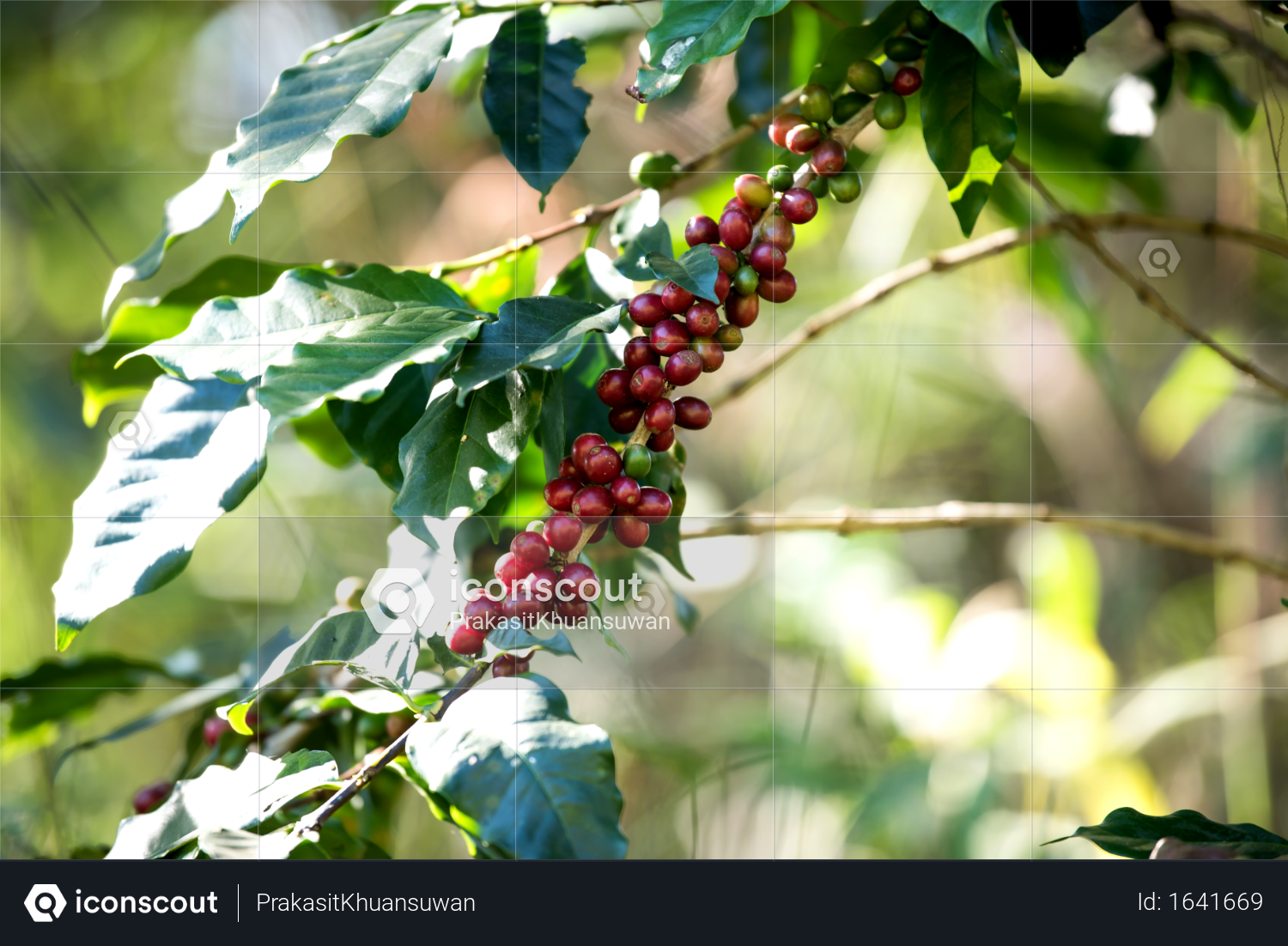 Premium Coffee Bean Berry Ripening On Coffee Farm Photo Download In Png Jpg Format Coffee Farm Farm Photo Premium Coffee