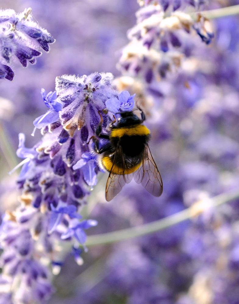 Cute Bumblebee On The Lavender By Ilonyart Cute Bee I Love Bees Bee