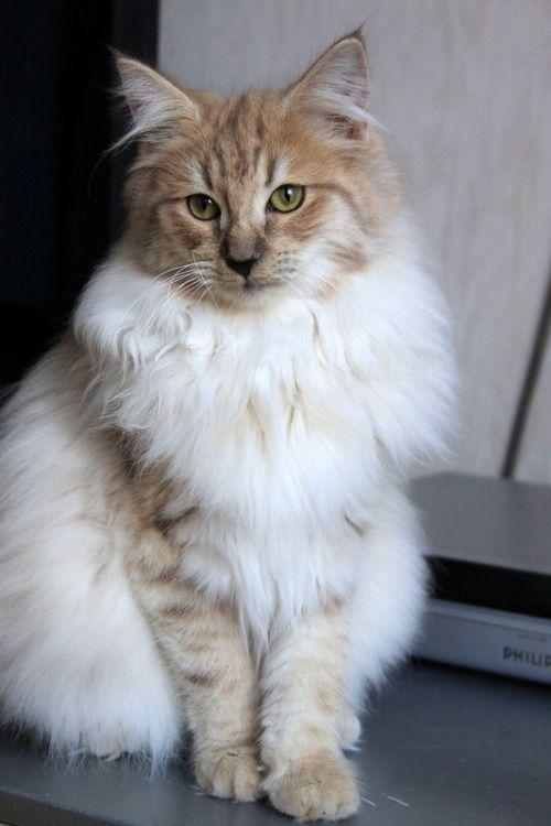Caithlin Van Serrurier Amber Smoke Norwegian Forest Cat