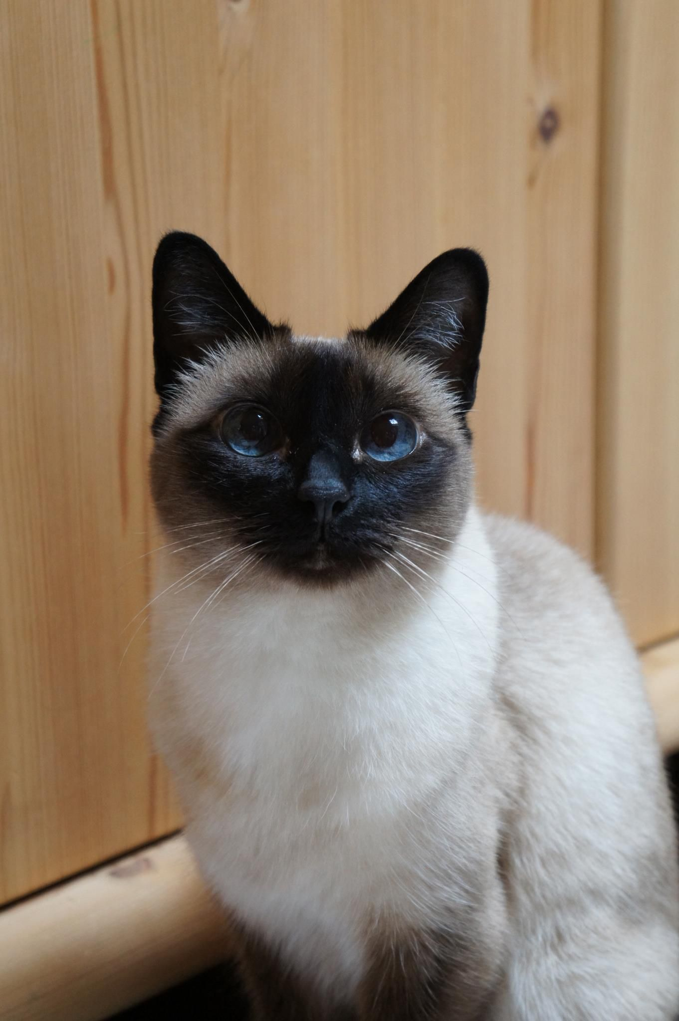 Siamese/Orientals cats.Lilac point,Seal tabby silver Siamese,Seal ...