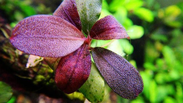 Картинки по запросу bucephalandra sp. flora