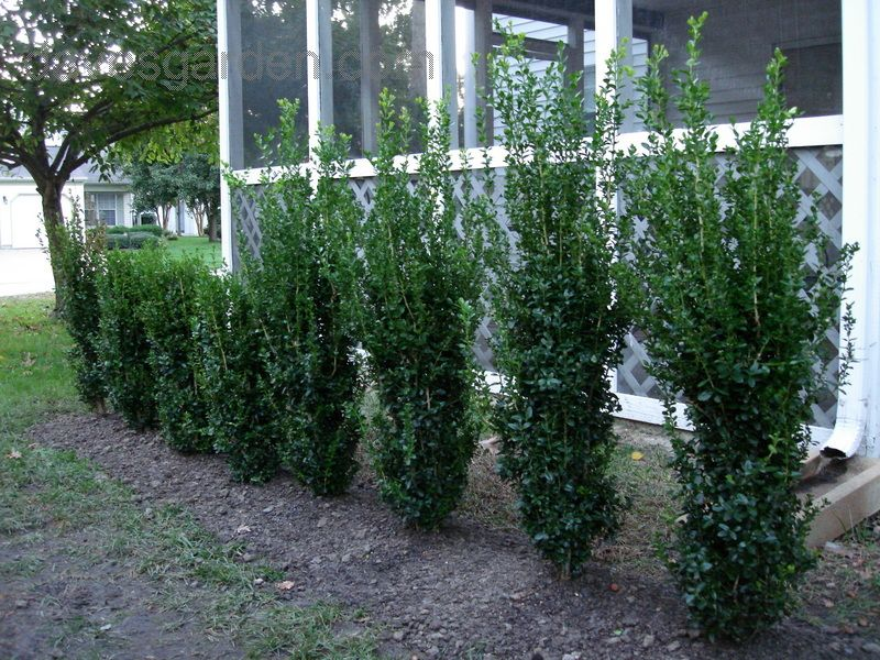 Boxwood Green Tower From Monrovia 9 X2 Wide Tall Narrow Z6 9a So Out Of Range Sun Ps
