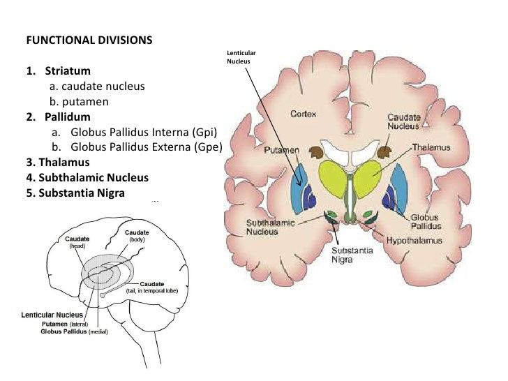 Anatomy Of The Basal Ganglia Slideshare Anatomy And
