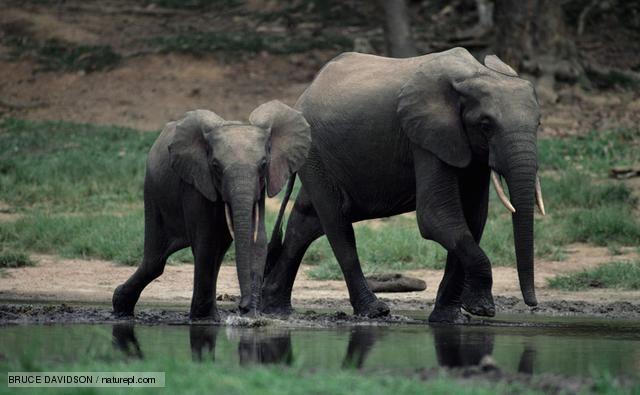 Elephant! Elephant!