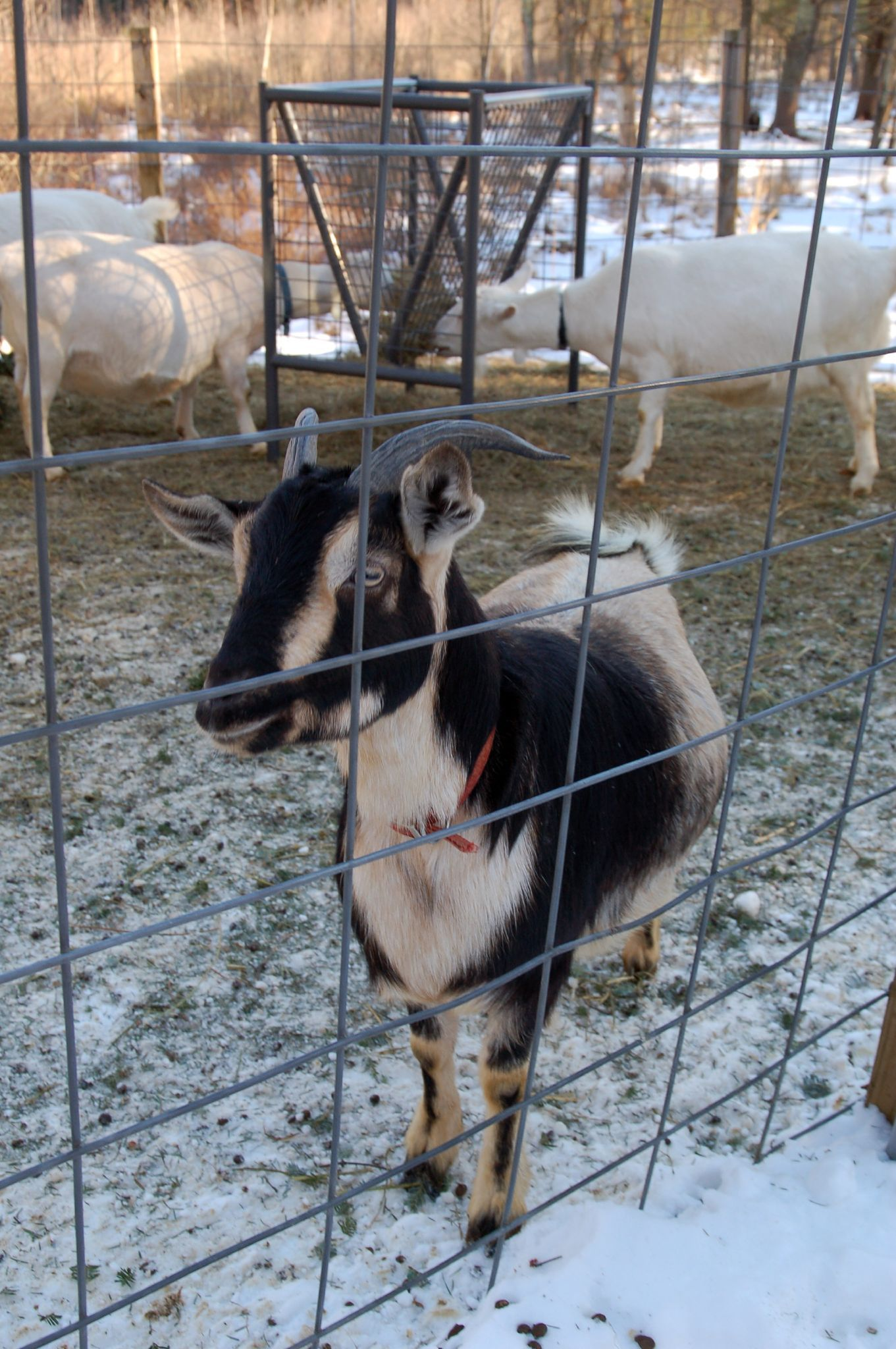 An Arapawa dairy goat, from New Zealand. Goats, Dwarf