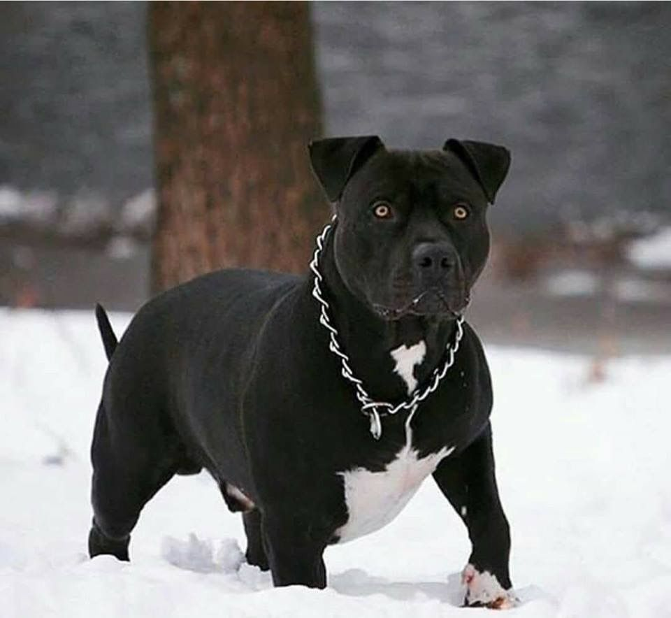 Looks Like My Dog With Images Pitbull Terrier Dogs Pitbull Dog