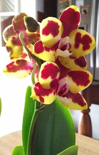 small yellow phalaenopsis orchid with wine and white blooms diary