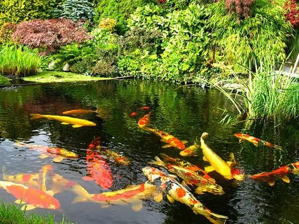 Koi pond tips to build koi fish pond smart home for Japanese koi pond garden design
