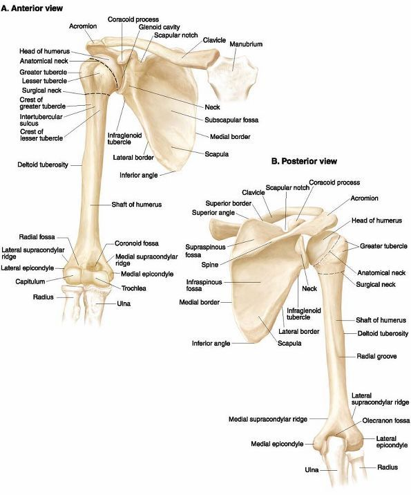 Shoulder and upper limb bone anatomy | upper limb | Pinterest ...