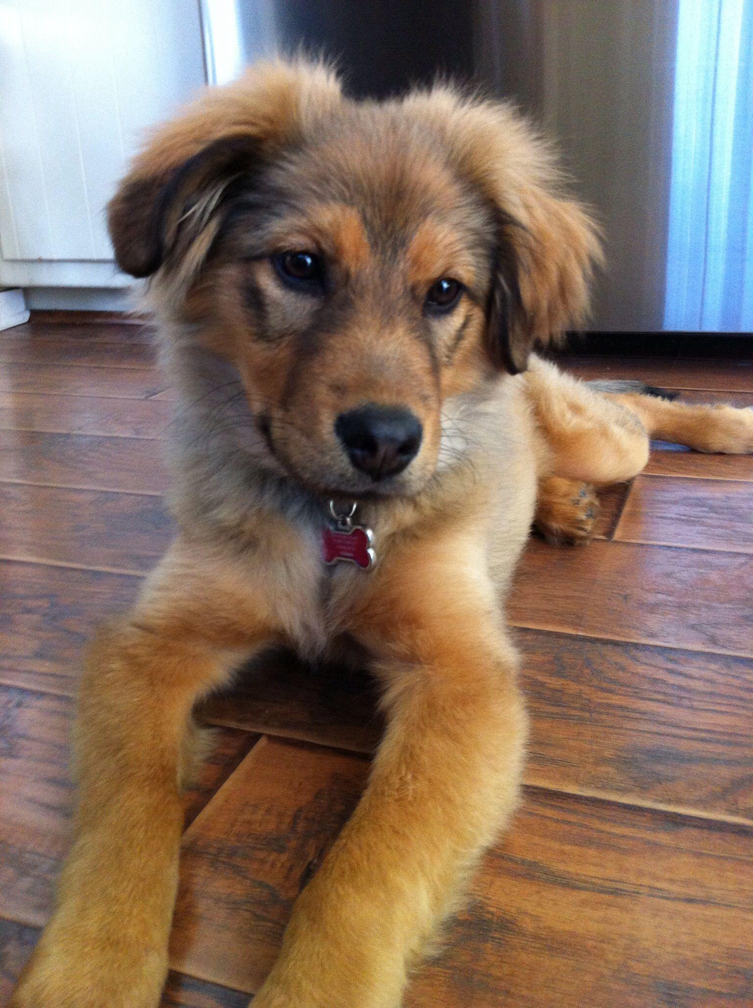 Pin Von Edda Auf Cute Dog Mixes In 2020 Golden Retriever Mischling Hunde Schaferhunde