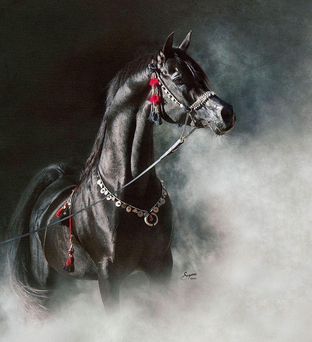 The King Black Pearl اللؤلؤة السوداء فديو الخيل العربية العاديات خيل مروان الشقب خيول In 2020 Black Arabian Horse Beautiful Arabian Horses Horses