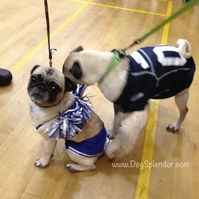 Pug O Ween A Plethora Of Pugs In Costumes Pug Puppies Pugs In