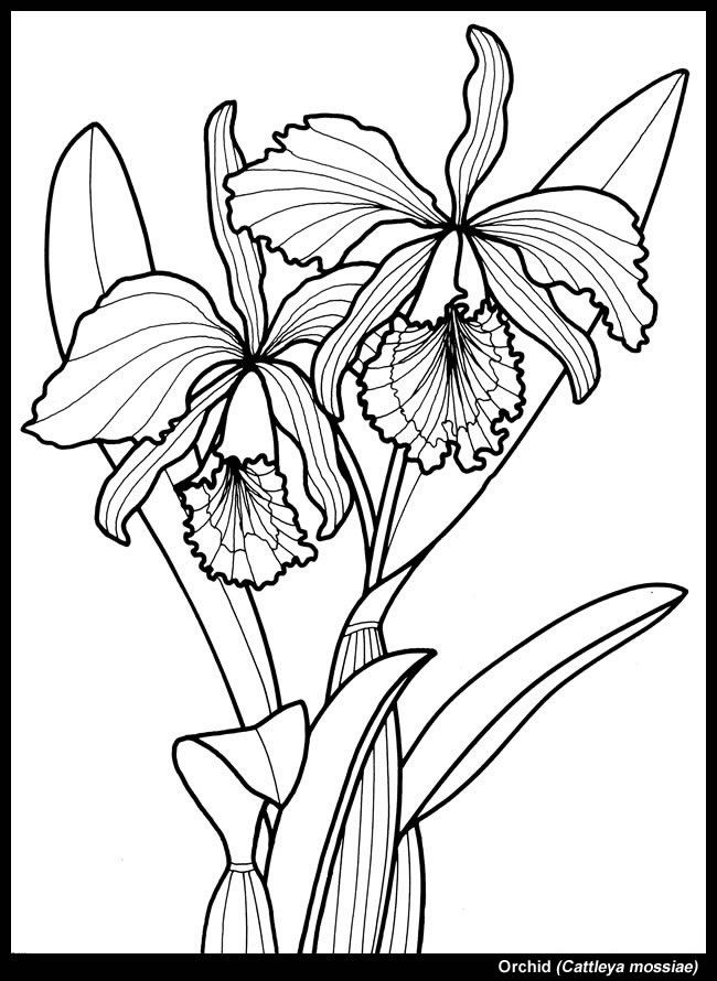 Orchid To Color Dover Coloring Pages Coloring Pages Flower