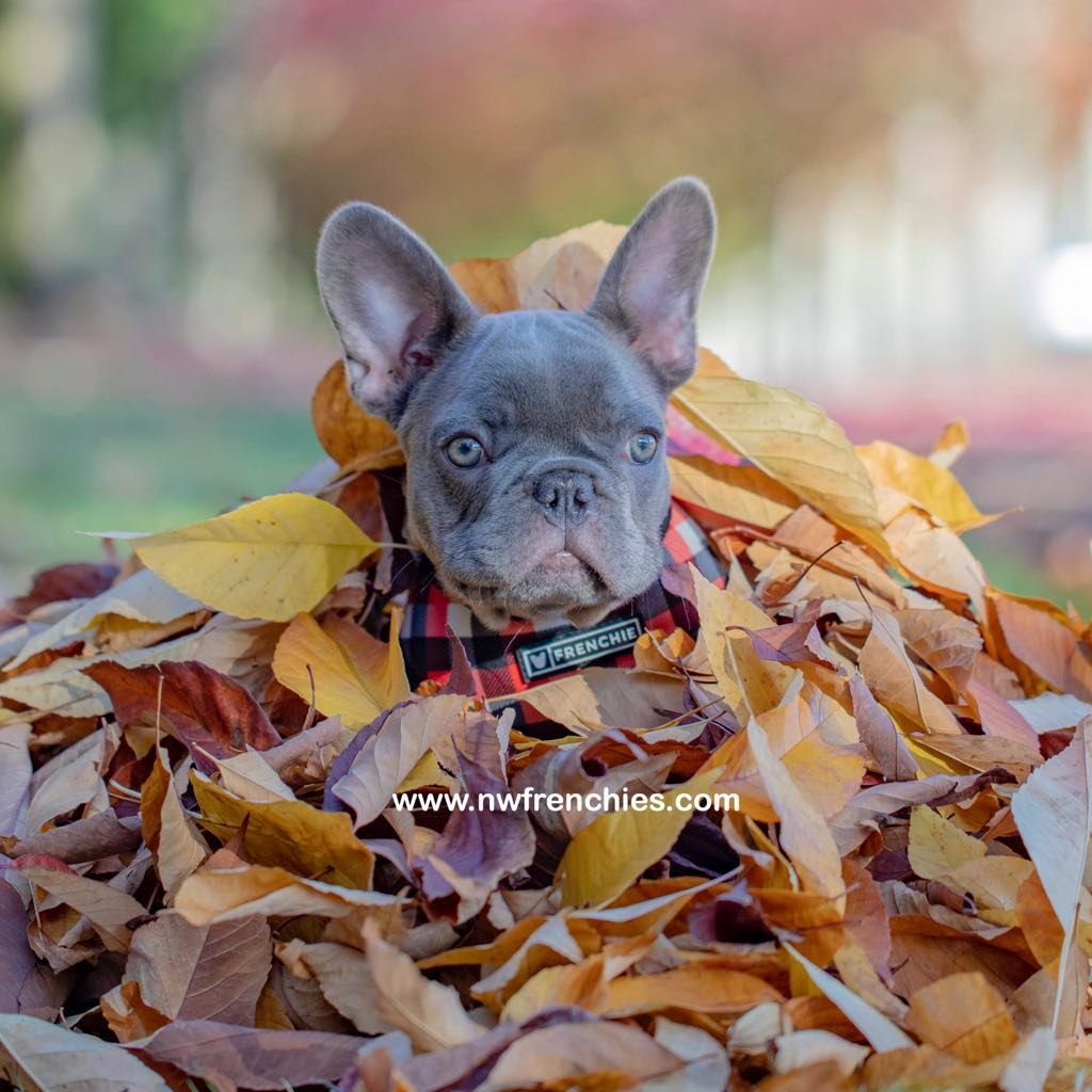 Nw Frenchies Lilac French Bulldog Www Nwfrenchies Com Pug