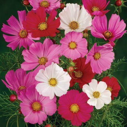 Wild Cosmos Flower Seeds Sensation Mix Cosmos Bipinnatus Flower Seeds Flower Landscape Cosmos Flowers
