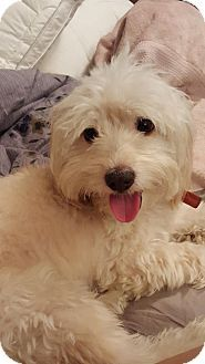 Tampa Fl Miniature Poodle Dachshund Mix Meet Sonny A Dog For