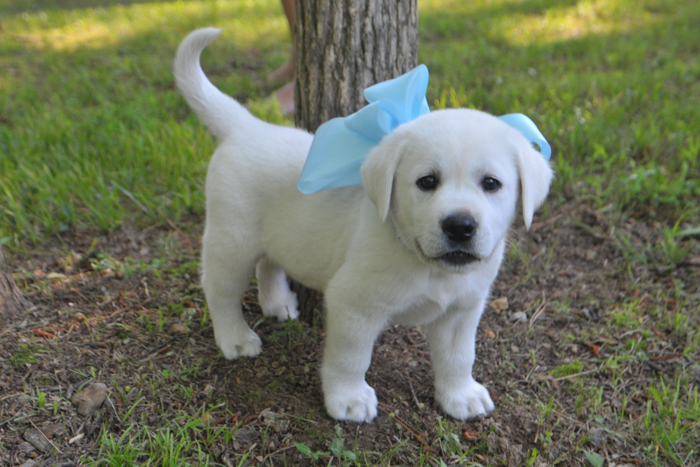 White Lab Puppy Would Love To Take Pic Like This Of Little