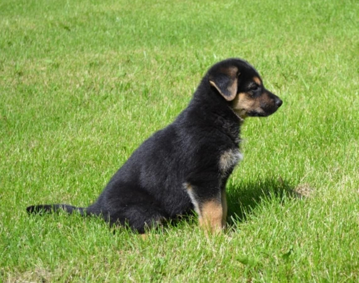 Black And Tan German Shepherd Puppies Pictures Puppy Pictures