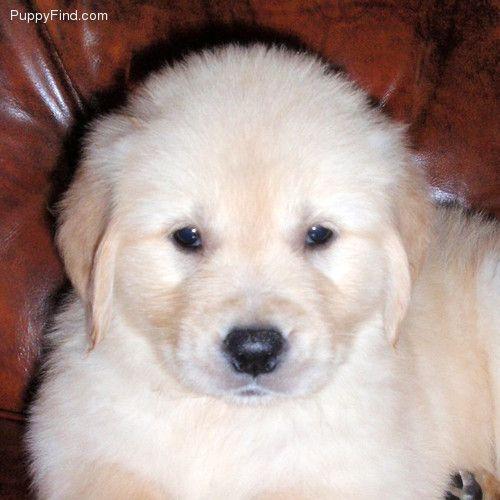 Golden Retriever Pictures Labrador Retriever Puppies For Sale