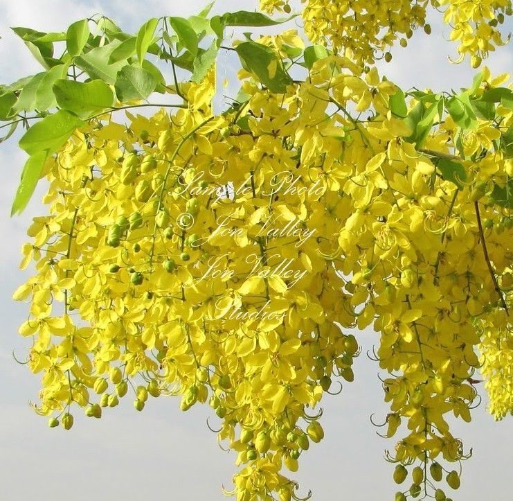 Cassia fistula Golden Shower Tree Seeds yellow Flower clusters Drought Tolerant #SerendipitySeeds