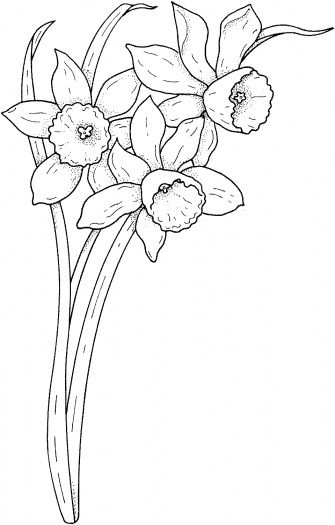 narcissus coloring page to use as an embroidery pattern